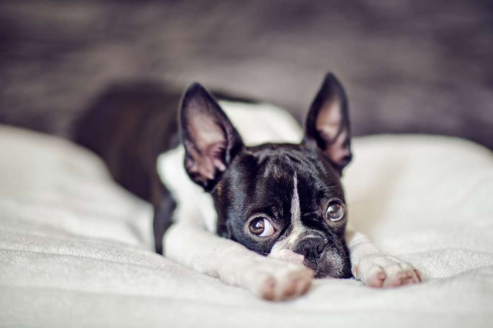 Dog Crates For Boston Terriers