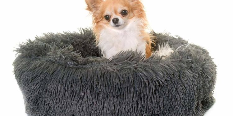 chihuahua in a grey pillow bed