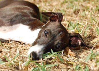 greyhound on the grass