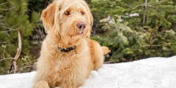 labradoodle in the snow
