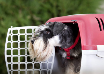 black and white mini schnauzer poking its head out of the crate
