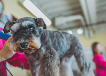 mini schnauzer getting trimmed with clippers