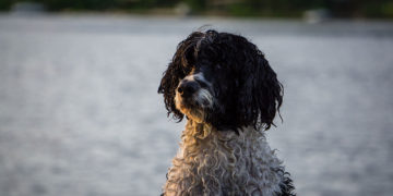 black and white portugese water dog
