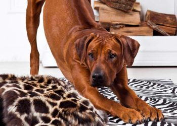 rhodesian ridgeback stretching out on its bed