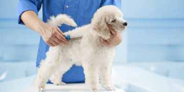 white poodle getting brushed