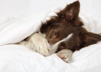 border collie in bed