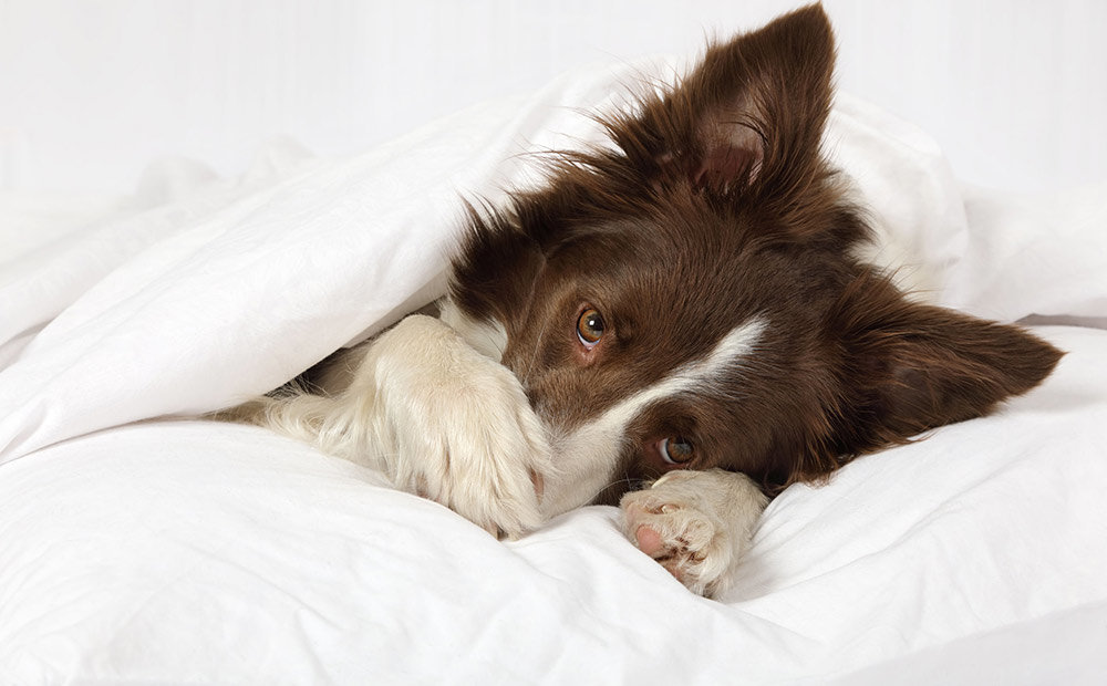 Top 5 Best Dog Beds For Border Collies In 2019 Dogstruggles