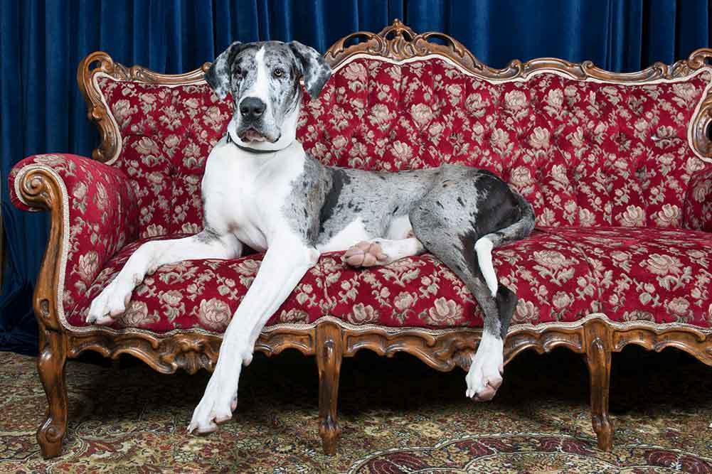Top 5 Best Dog Beds For Great Danes In 2019 Dogstruggles