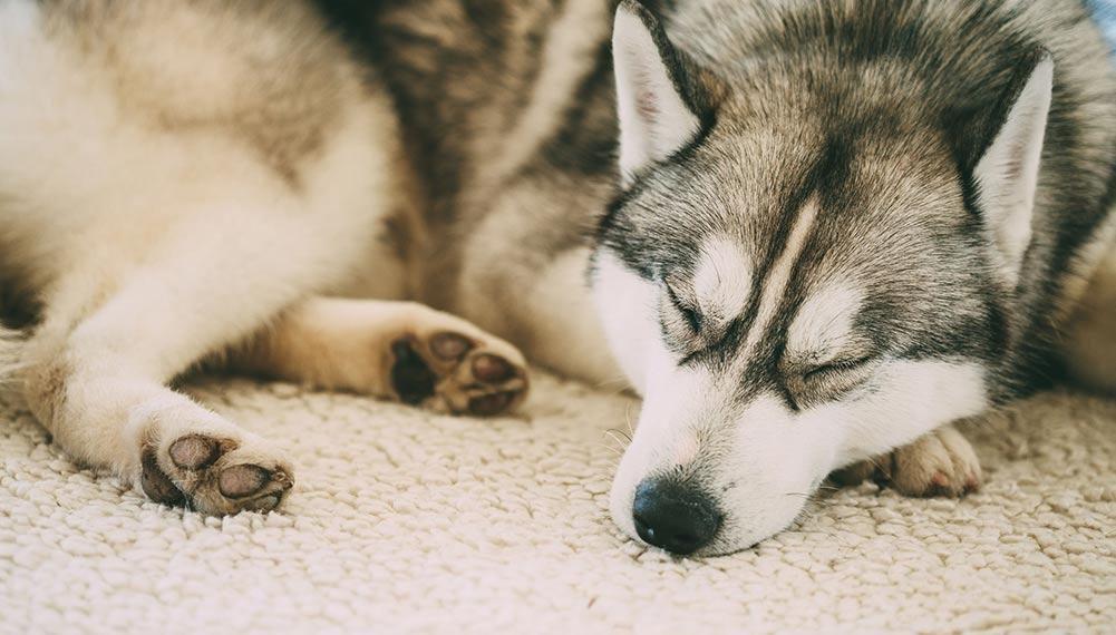 Top 6 Best Dog Beds For Siberian Huskies In 2019