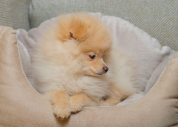 pomeranian in a dog bed