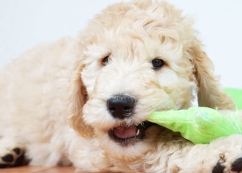 goldendoodle puppy with a green chew toy