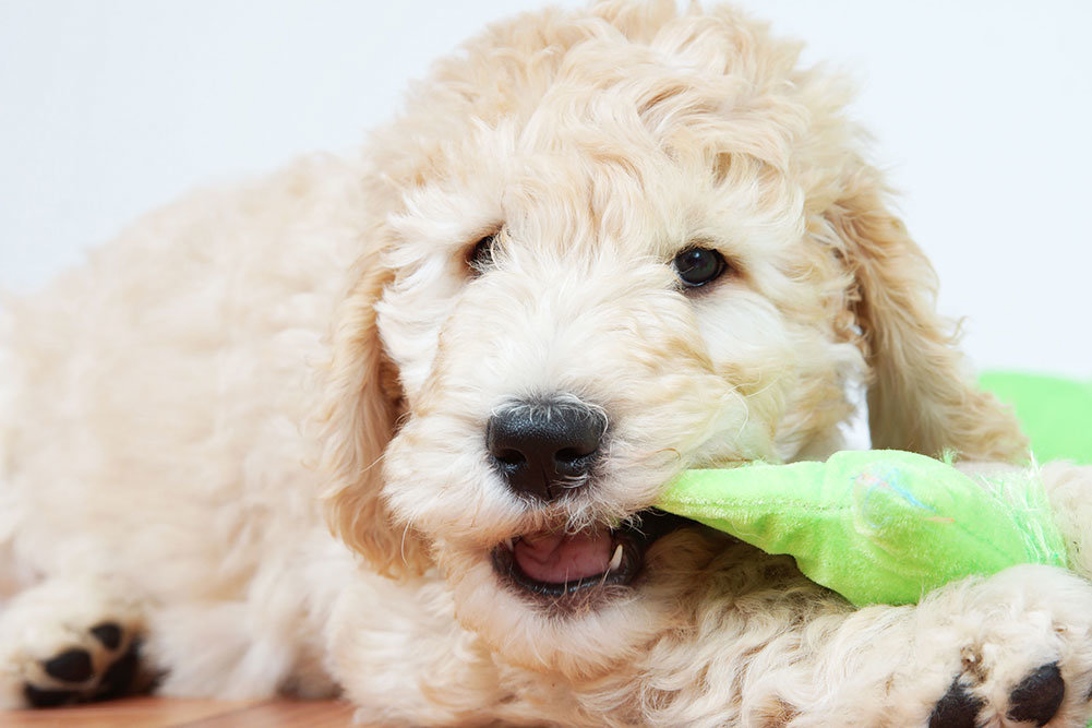 Top 5 Best Dog Clippers For Goldendoodles In 2018