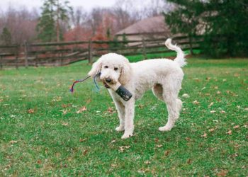goldendoodle playing with a toy
