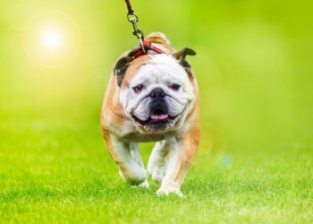 bulldog wearing a harness walking through park