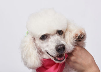 white poodle with a pink scarf