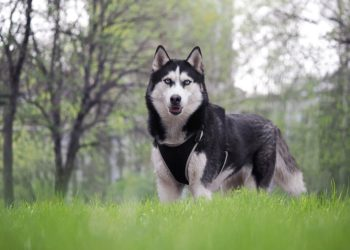 husky outside in the grass with a black harness on