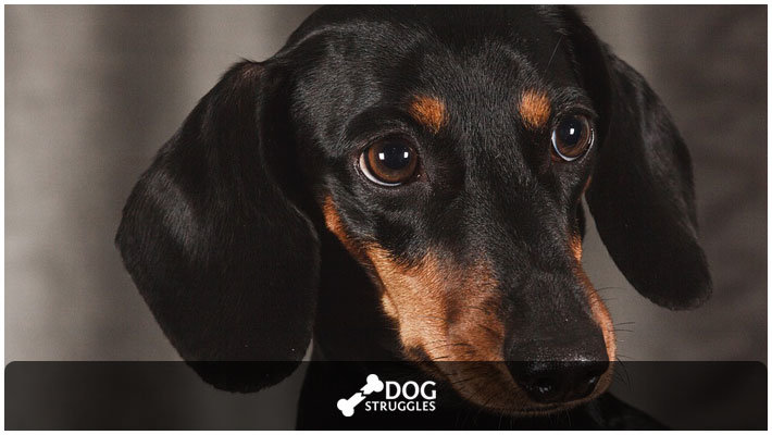 How To Take Care Of A Dachshund Complete Guide Dogstruggles