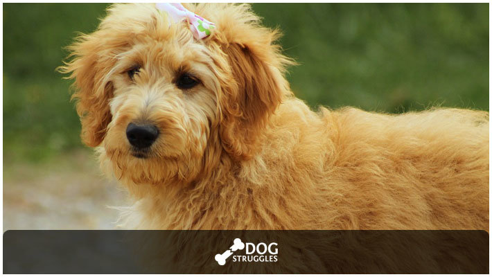 Tips On Hair Care For Goldendoodles Dogstruggles