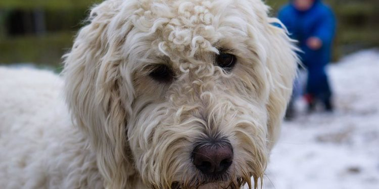 white labradoodle in the snow