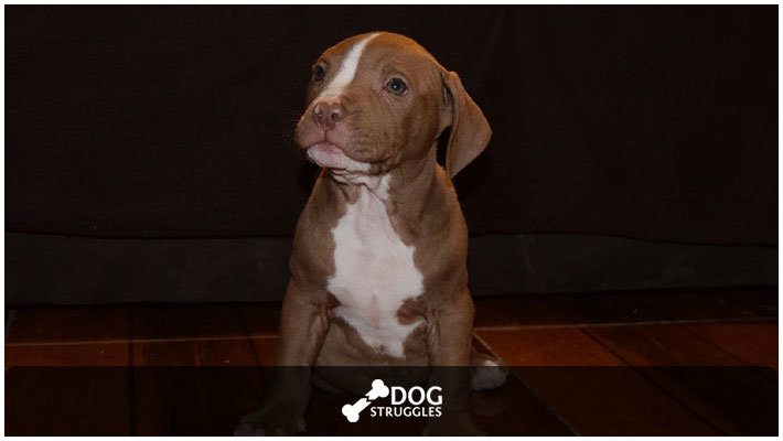 Stages of Pitbull Puppy Development | DogStruggles