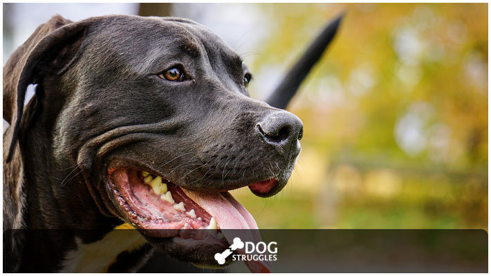 How to Take Care of a Pitbull: Complete Guide in 2019