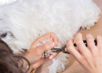 maltese getting its toes clipped