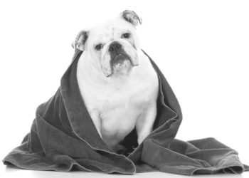 bulldog with a towel on it