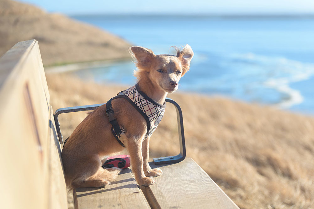Top 8 Best Harnesses For Chihuahua In 2019 Dogstruggles