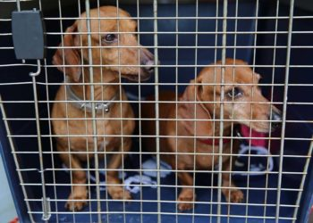 two dachshunds in a dog crate