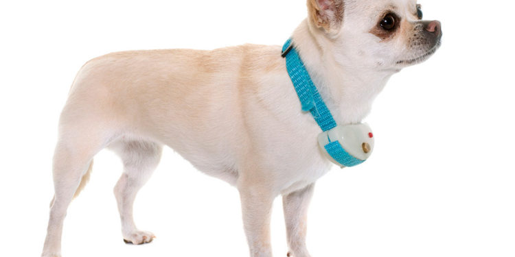 white chihuahua with blue bark collar on