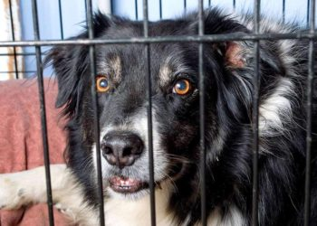 border collie in a crate