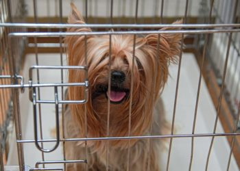 yorkie in a crate
