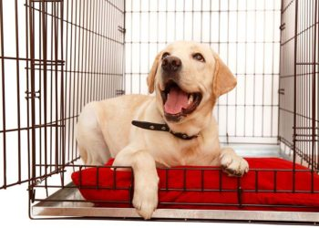 golden retriever puppy in a dog crate