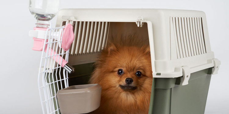 pomeranian in a dog crate