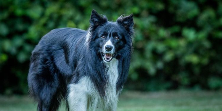 best dog food border collies