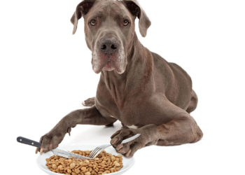 great dane with a knife and fork ready to eat