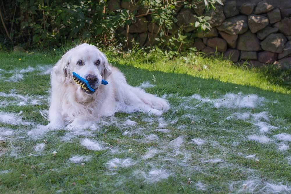 Best Dog Brushes For Golden Retrievers