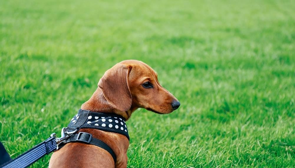 Best Dog Collars For Dachshunds