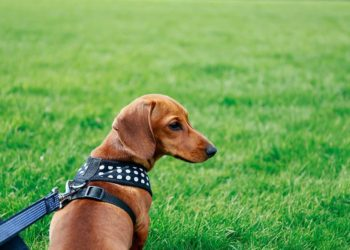 tan dachshund on the grass wearing a black harness