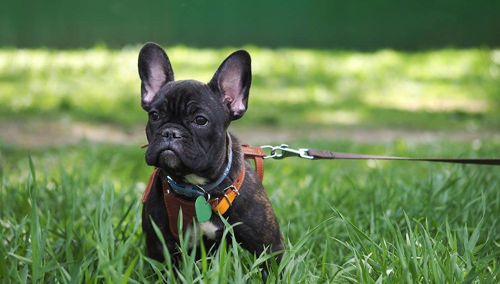 french bulldog supplies top 5 best harnesses for french bulldogs in 2019 7949