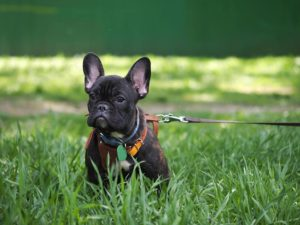black french bulldog on the grass wearing harness