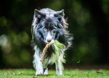 black and white long haired dog walking with bone on grass