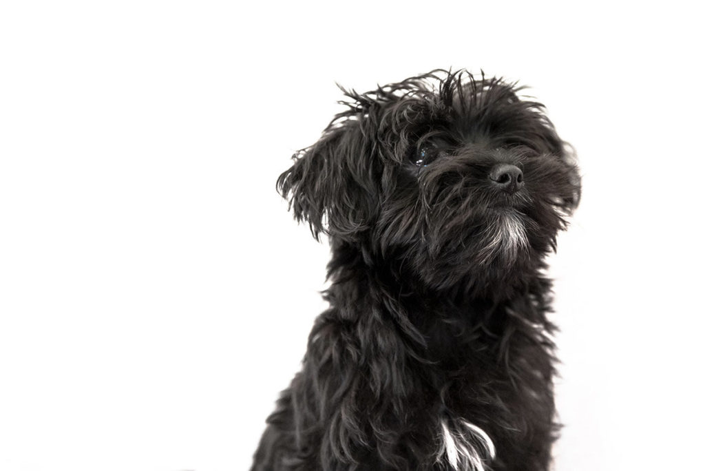 Morkie All You Need To Know About This Breed In 2020 Dogstruggles