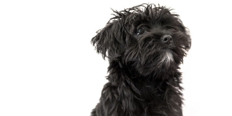 black morkie dog white background