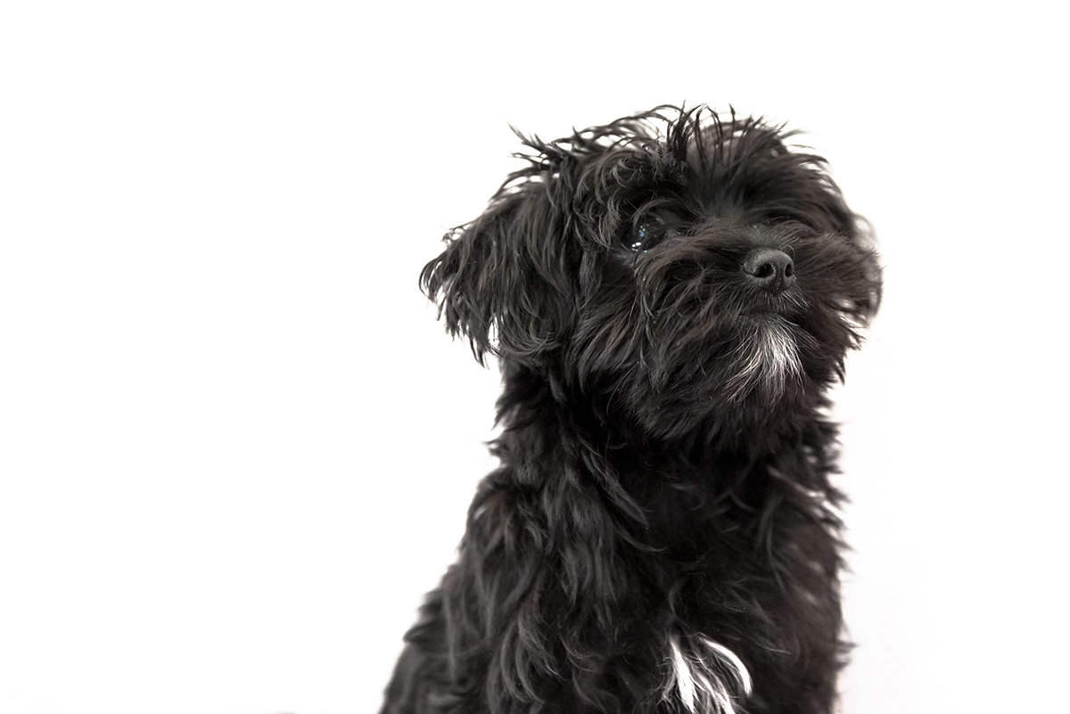 morkie complete guide in 2018 dogstruggles