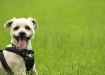 white shorkie wearing a harness in the park