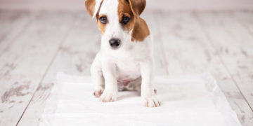 jack russell puppy on a pee pad