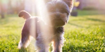 yorkie in sunlight outside