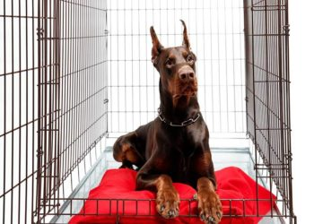 doberman in a crate with a red cushion