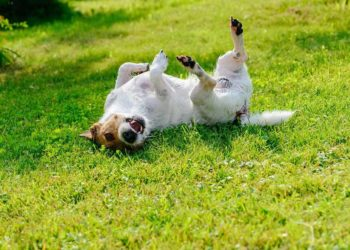 dog scratching its back on the grass